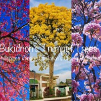Pink, White And Golden Trumpet Trees In Bukidnon: The Philippines Version of Japan's Cherry Blossoms